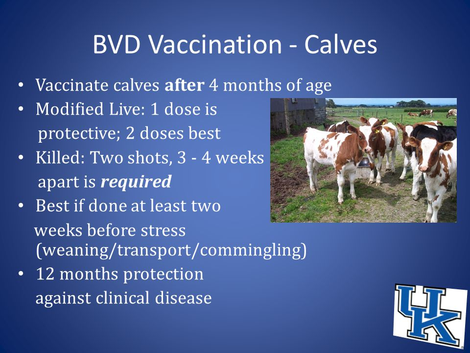 BVD Vaccination - Calves Vaccinate calves after 4 months of age Modified Live: 1 dose is protective; 2 doses best Killed: Two shots, 3 - 4 weeks apart is required Best if done at least two weeks before stress (weaning/transport/commingling) 12 months protection against clinical disease