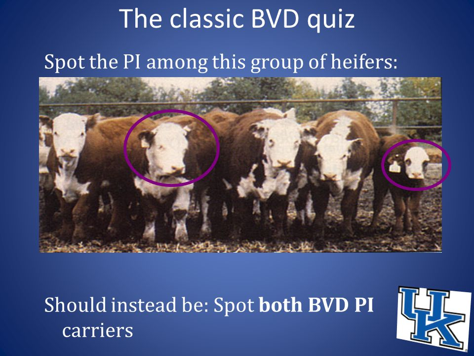 The classic BVD quiz Spot the PI among this group of heifers: Should instead be: Spot both BVD PI carriers