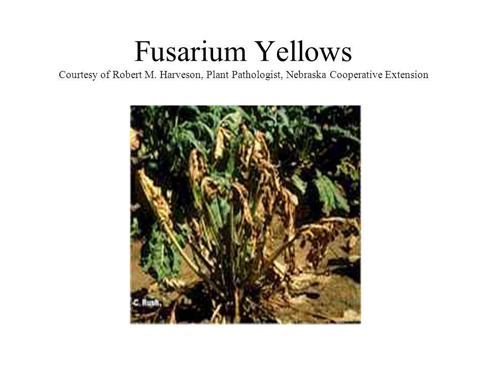 Fusarium Yellows Courtesy of Robert M. Harveson, Plant Pathologist, Nebraska Cooperative Extension