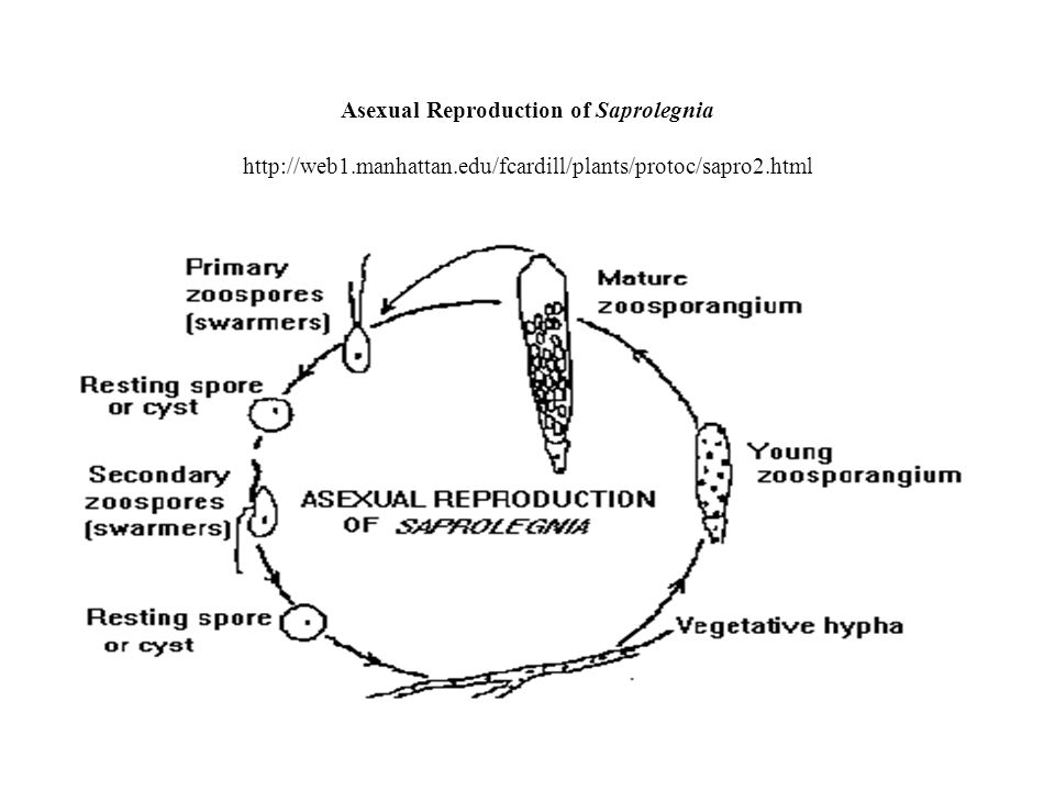 Asexual Reproduction of Saprolegnia http://web1.manhattan.edu/fcardill/plants/protoc/sapro2.html