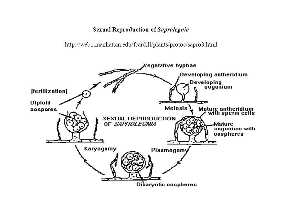 Sexual Reproduction of Saprolegnia http://web1.manhattan.edu/fcardill/plants/protoc/sapro3.html