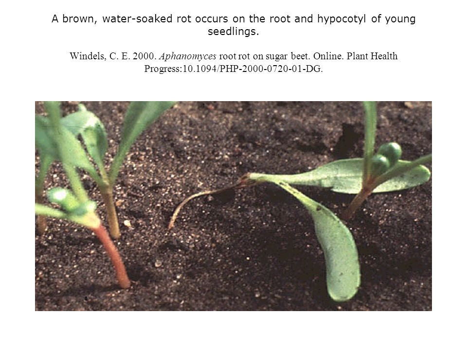 A brown, water-soaked rot occurs on the root and hypocotyl of young seedlings. Windels, C. E. 2000. Aphanomyces root rot on sugar beet. Online. Plant