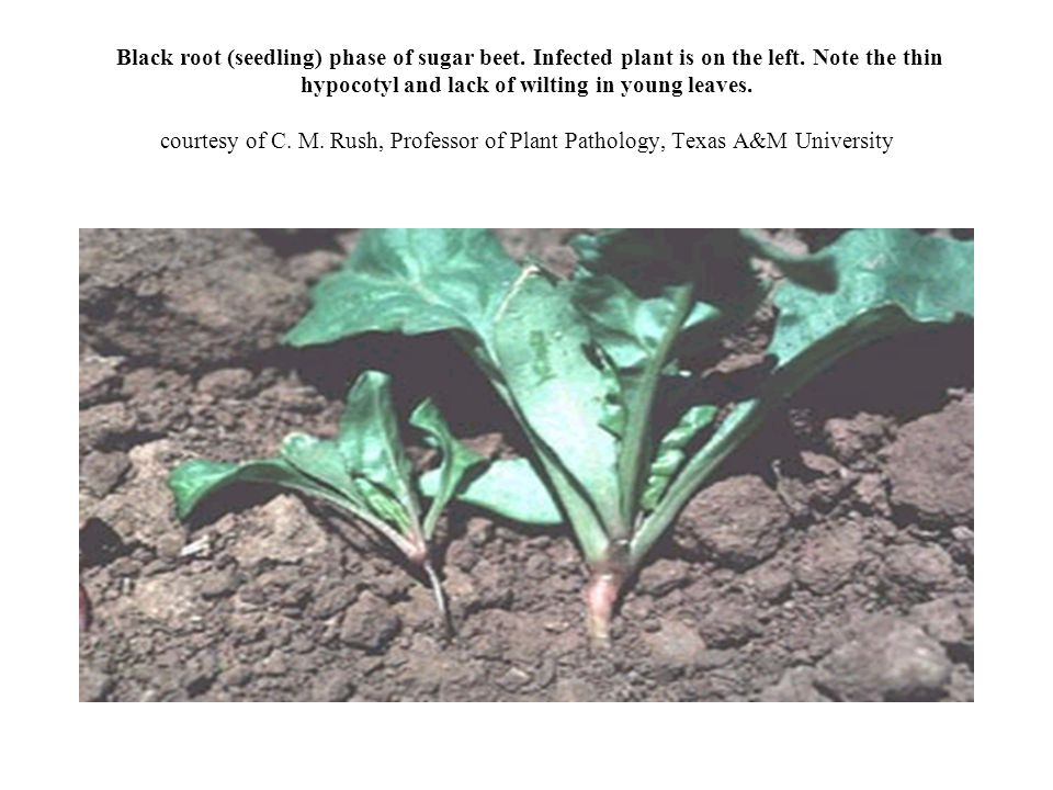 Black root (seedling) phase of sugar beet.Infected plant is on the left.