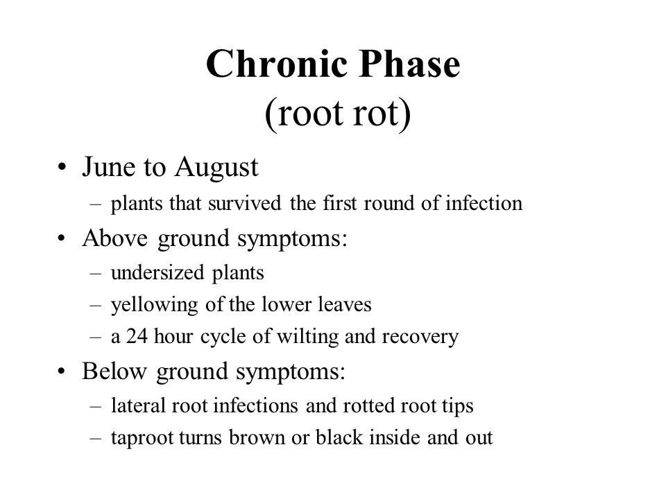 Chronic Phase (root rot) June to August –plants that survived the first round of infection Above ground symptoms: –undersized plants –yellowing of the lower leaves –a 24 hour cycle of wilting and recovery Below ground symptoms: –lateral root infections and rotted root tips –taproot turns brown or black inside and out