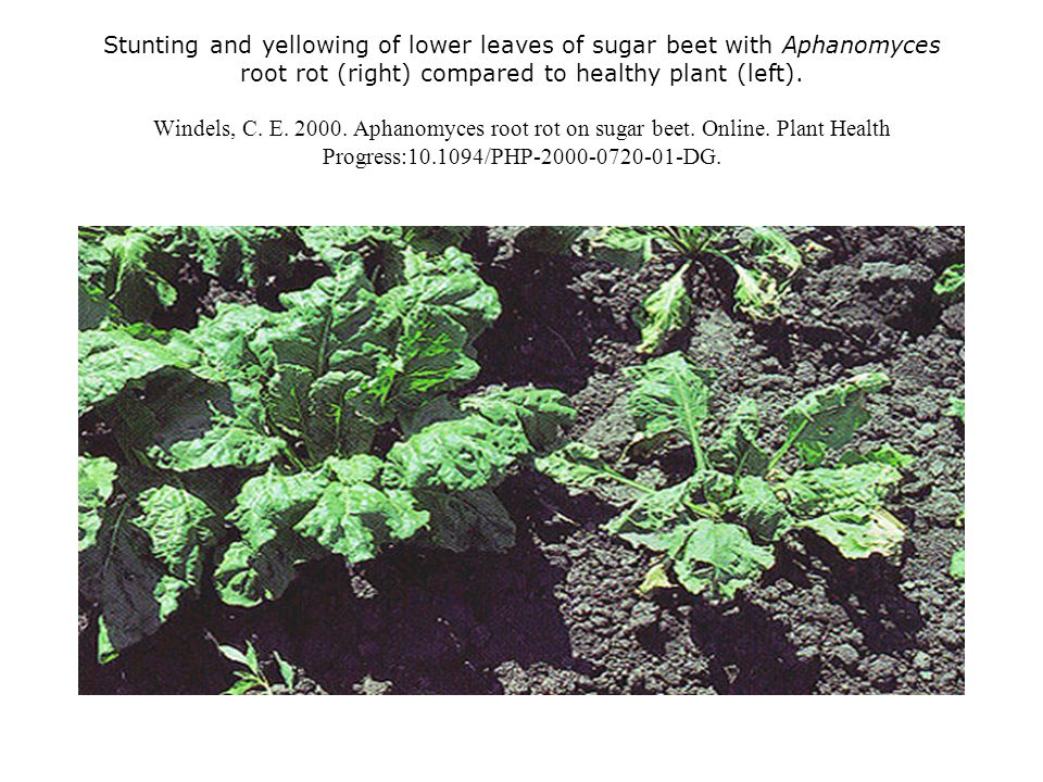 Stunting and yellowing of lower leaves of sugar beet with Aphanomyces root rot (right) compared to healthy plant (left). Windels, C. E. 2000. Aphanomy
