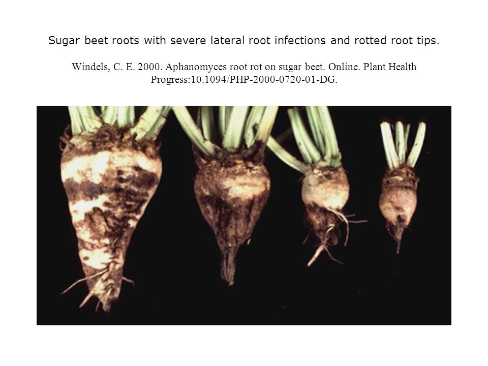 Sugar beet roots with severe lateral root infections and rotted root tips. Windels, C. E. 2000. Aphanomyces root rot on sugar beet. Online. Plant Heal