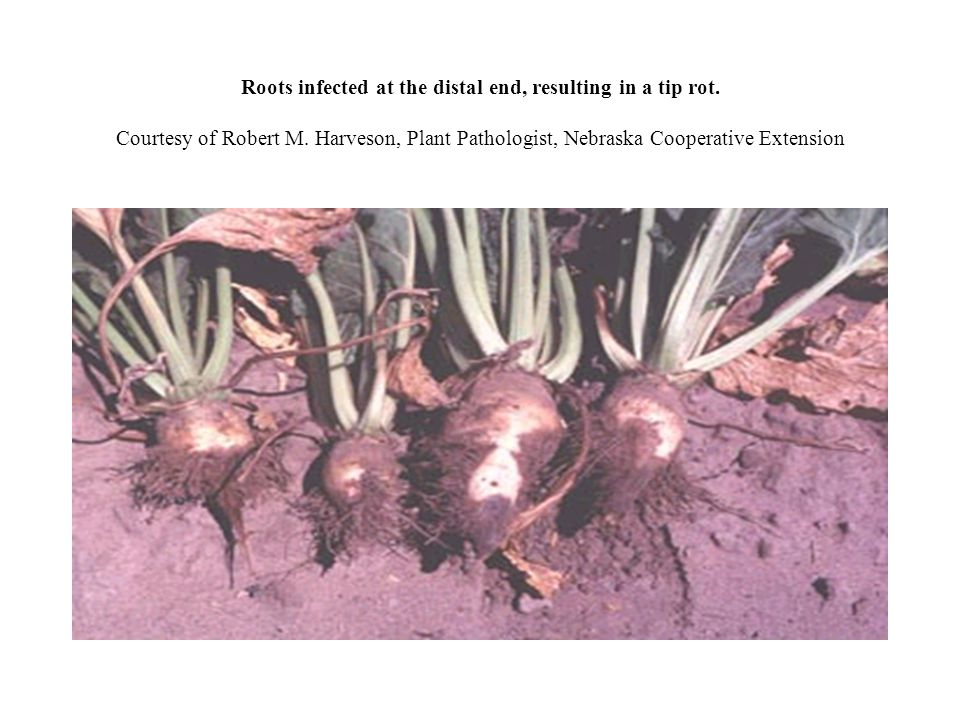 Roots infected at the distal end, resulting in a tip rot. Courtesy of Robert M. Harveson, Plant Pathologist, Nebraska Cooperative Extension