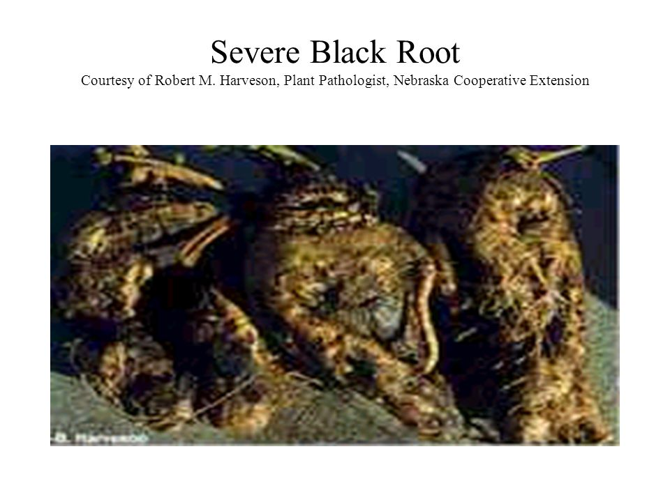 Severe Black Root Courtesy of Robert M. Harveson, Plant Pathologist, Nebraska Cooperative Extension