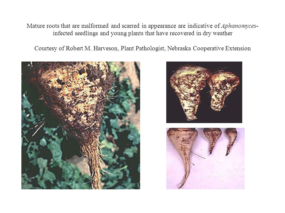 Mature roots that are malformed and scarred in appearance are indicative of Aphanomyces- infected seedlings and young plants that have recovered in dr