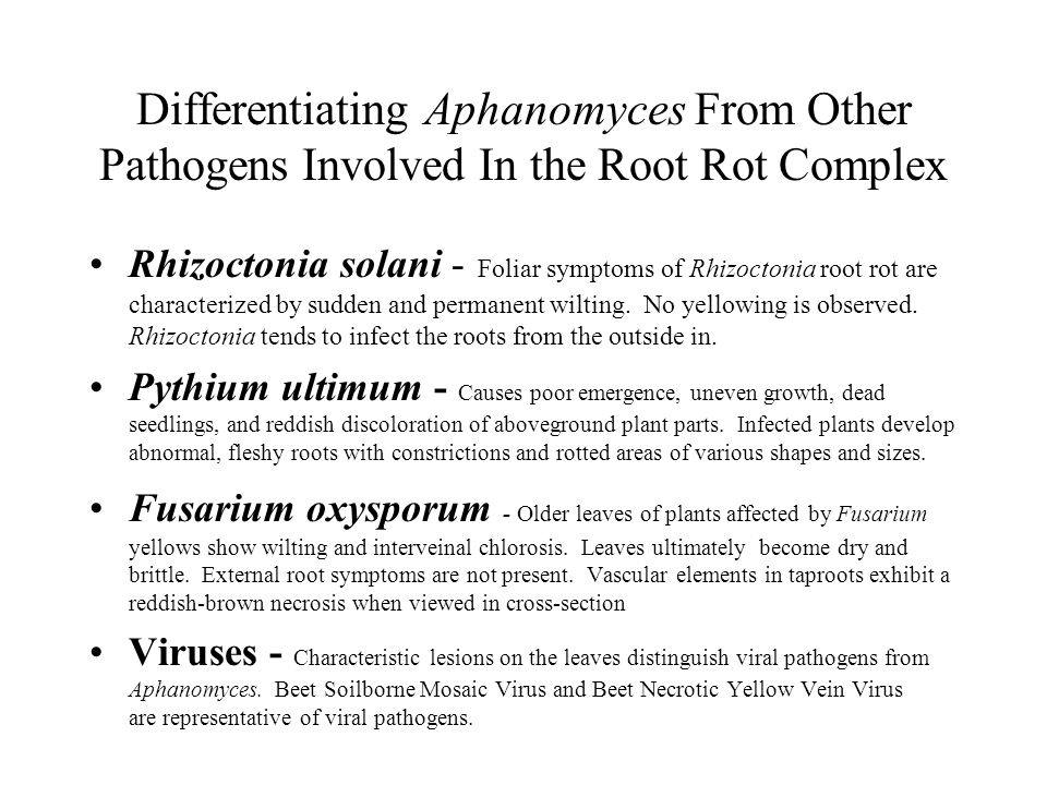Differentiating Aphanomyces From Other Pathogens Involved In the Root Rot Complex Rhizoctonia solani - Foliar symptoms of Rhizoctonia root rot are characterized by sudden and permanent wilting.