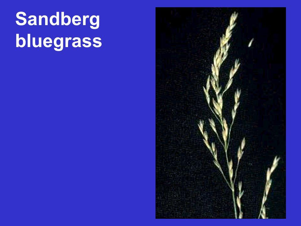 Sandberg bluegrass