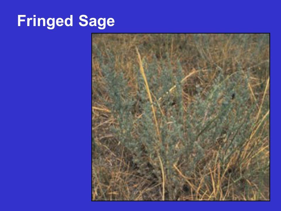 Fringed Sage