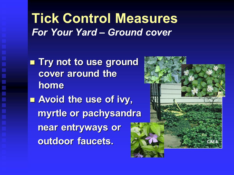 Tick Control Measures For Your Yard – Ground cover Try not to use ground cover around the home Try not to use ground cover around the home Avoid the use of ivy, Avoid the use of ivy, myrtle or pachysandra myrtle or pachysandra near entryways or near entryways or outdoor faucets.
