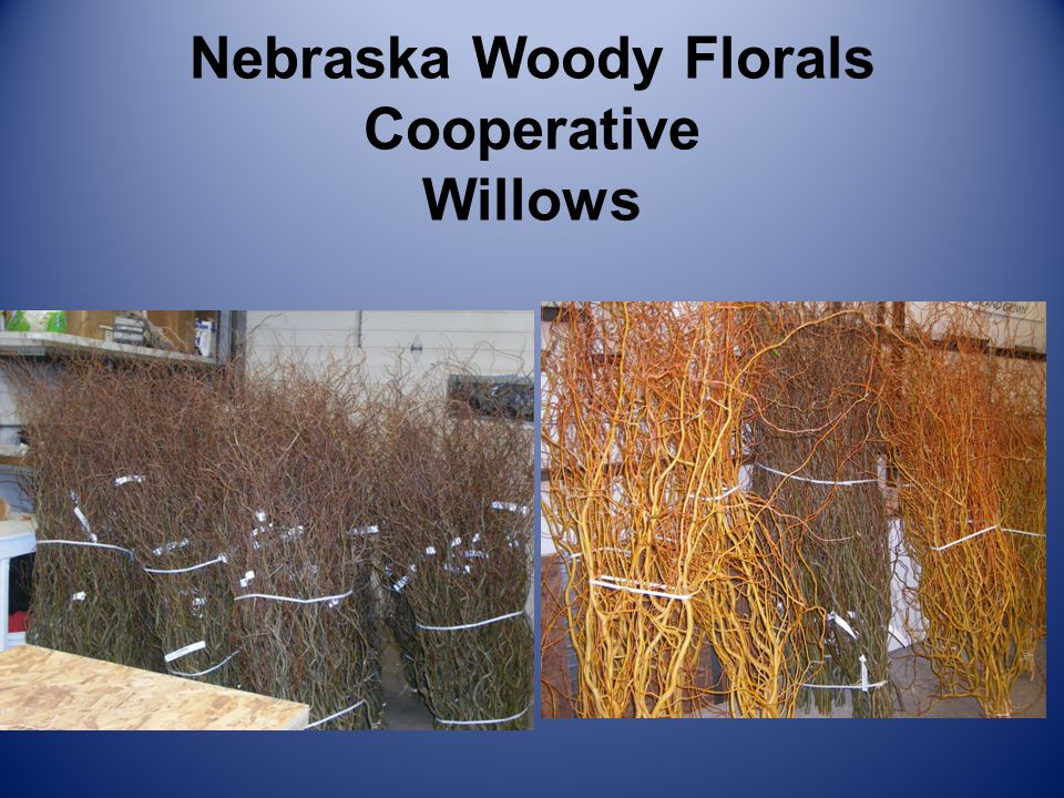 Nebraska Woody Florals Cooperative Willows