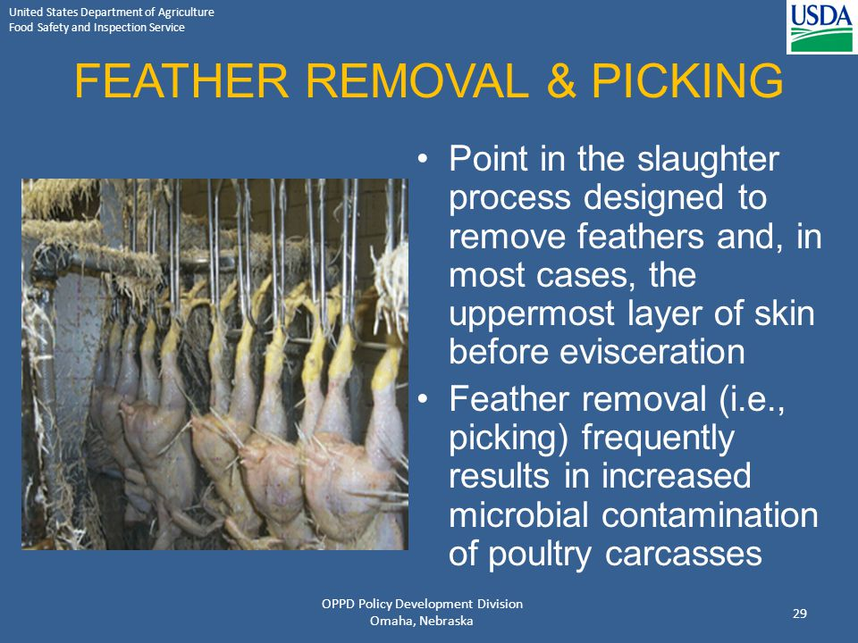 United States Department of Agriculture Food Safety and Inspection Service FEATHER REMOVAL & PICKING Point in the slaughter process designed to remove