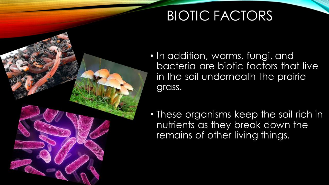 BIOTIC FACTORS In addition, worms, fungi, and bacteria are biotic factors that live in the soil underneath the prairie grass.