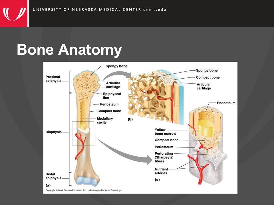 How is Bone Made?