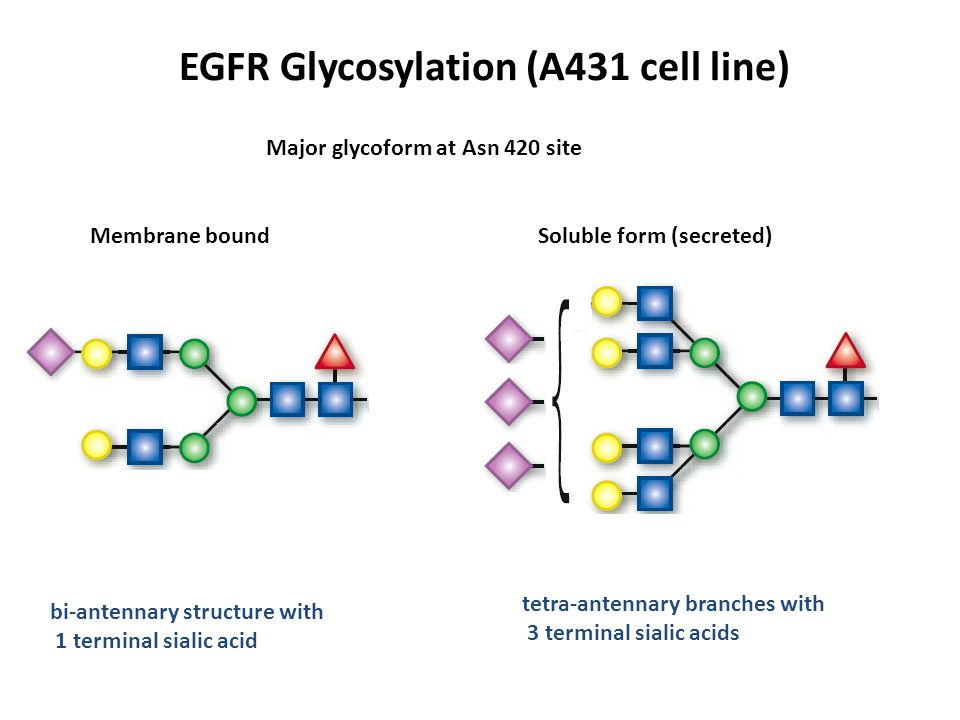 EGFR Glycosylation (A431 cell line) Membrane boundSoluble form (secreted) Major glycoform at Asn 420 site tetra-antennary branches with 3 terminal sia