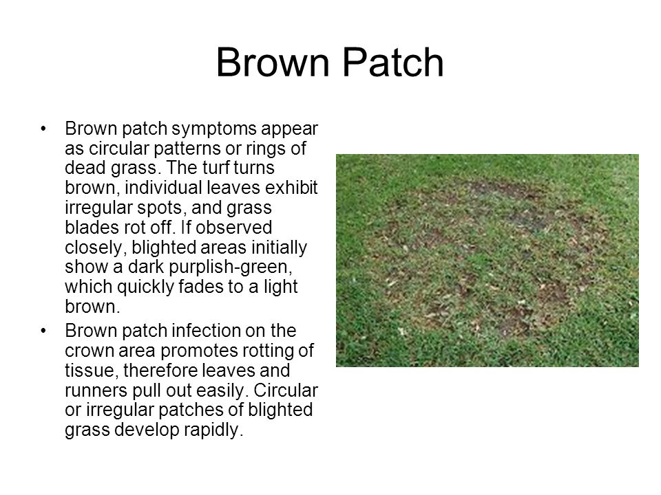Brown Patch Brown patch symptoms appear as circular patterns or rings of dead grass.