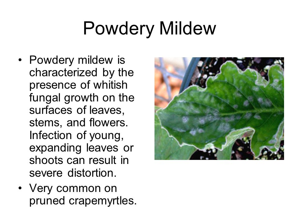 Powdery Mildew Powdery mildew is characterized by the presence of whitish fungal growth on the surfaces of leaves, stems, and flowers.