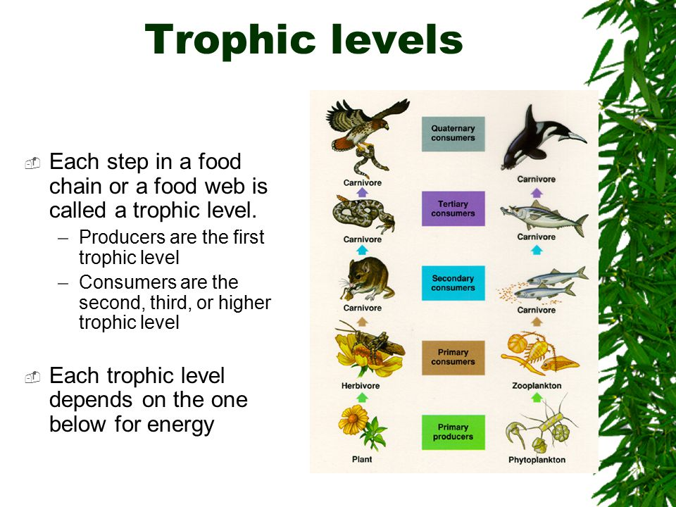 Trophic levels  Each step in a food chain or a food web is called a trophic level.