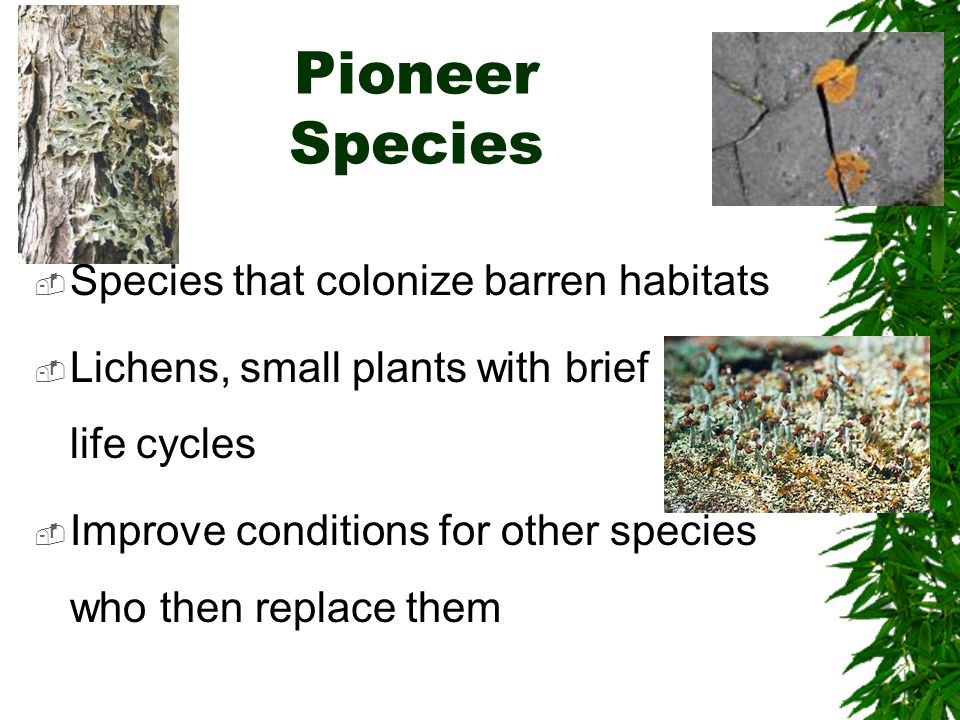 Pioneer Species  Species that colonize barren habitats  Lichens, small plants with brief life cycles  Improve conditions for other species who then replace them