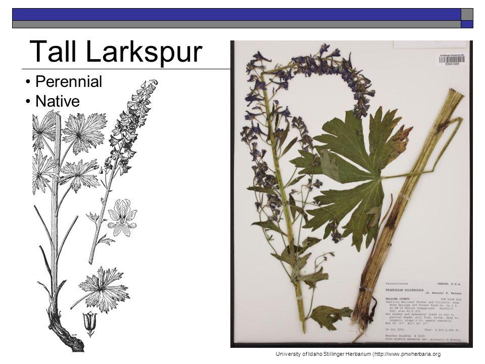 Tall Larkspur Perennial Native University of Idaho Stillinger Herbarium (http://www.pnwherbaria.org