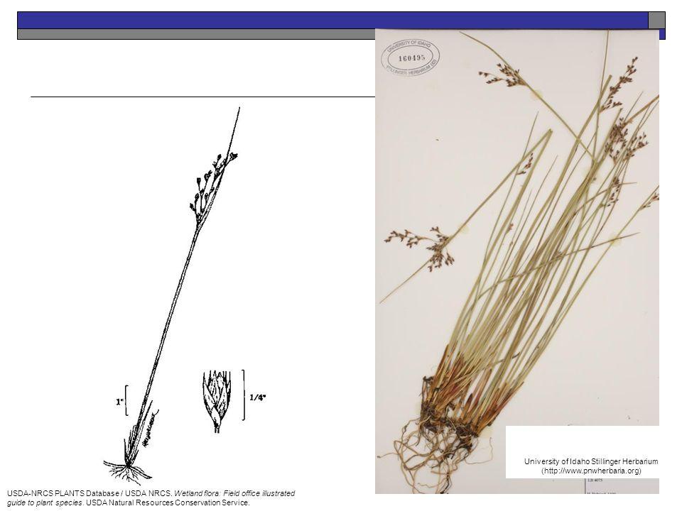 USDA-NRCS PLANTS Database / USDA NRCS. Wetland flora: Field office illustrated guide to plant species. USDA Natural Resources Conservation Service. Un