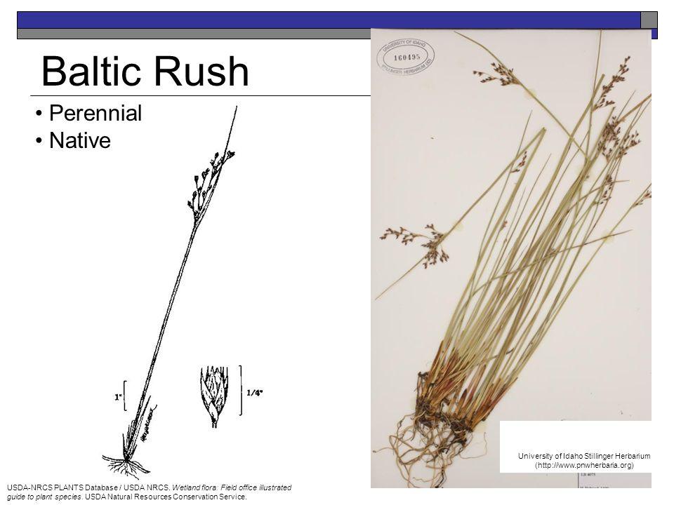 Baltic Rush Perennial Native USDA-NRCS PLANTS Database / USDA NRCS. Wetland flora: Field office illustrated guide to plant species. USDA Natural Resou