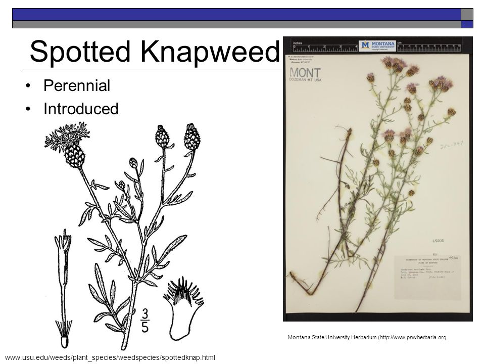 Spotted Knapweed Perennial Introduced K. Launchbaugh Jen Peterson K. Launchbaugh www.usu.edu/weeds/plant_species/weedspecies/spottedknap.html Montana