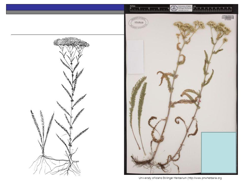 University of Idaho Stillinger Herbarium (http://www.pnwherbaria.org