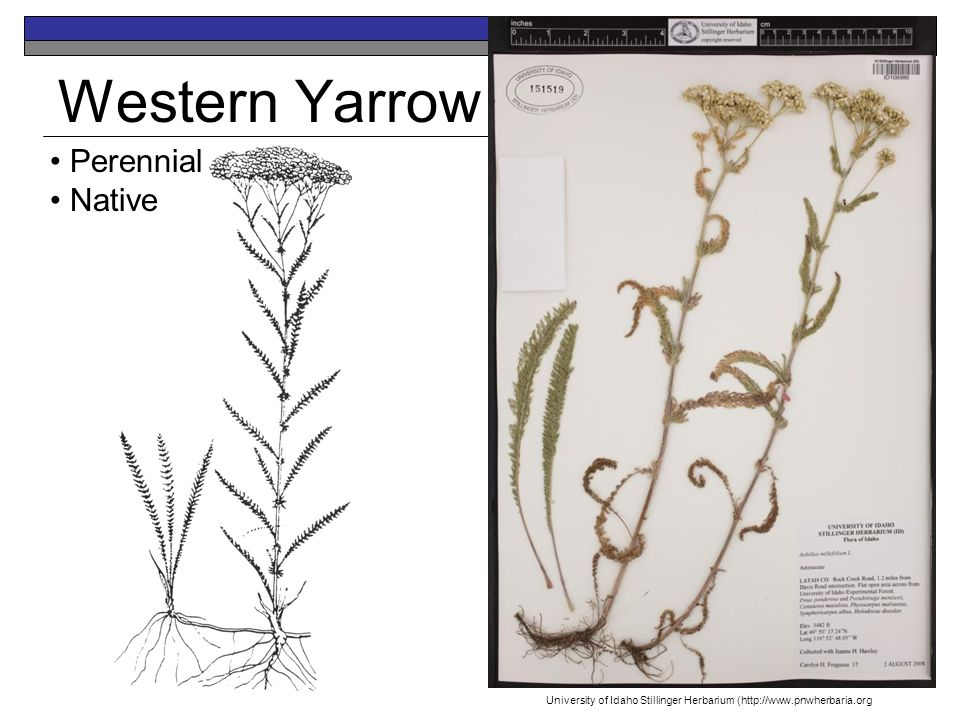 Western Yarrow Perennial Native University of Idaho Stillinger Herbarium (http://www.pnwherbaria.org