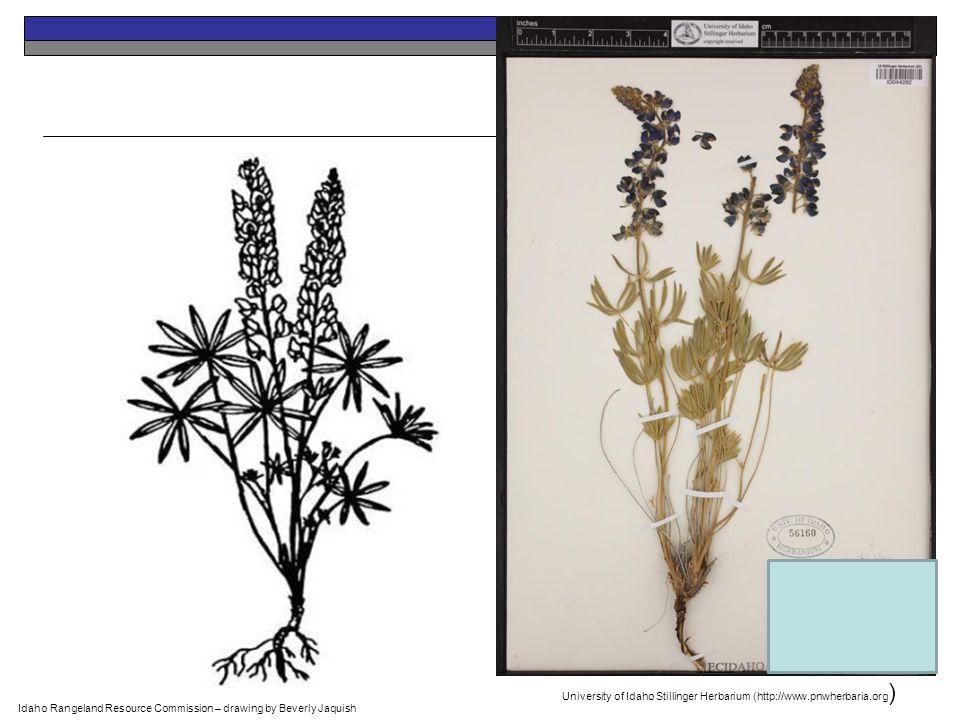 Idaho Rangeland Resource Commission – drawing by Beverly Jaquish University of Idaho Stillinger Herbarium (http://www.pnwherbaria.org )