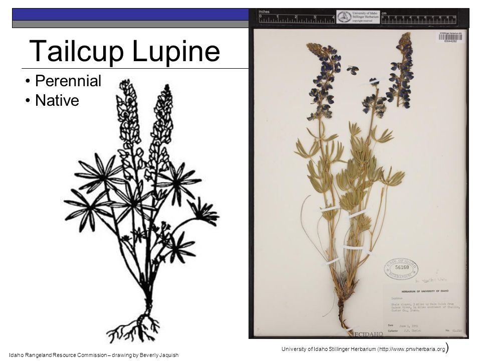 Tailcup Lupine Perennial Native Idaho Rangeland Resource Commission – drawing by Beverly Jaquish University of Idaho Stillinger Herbarium (http://www.