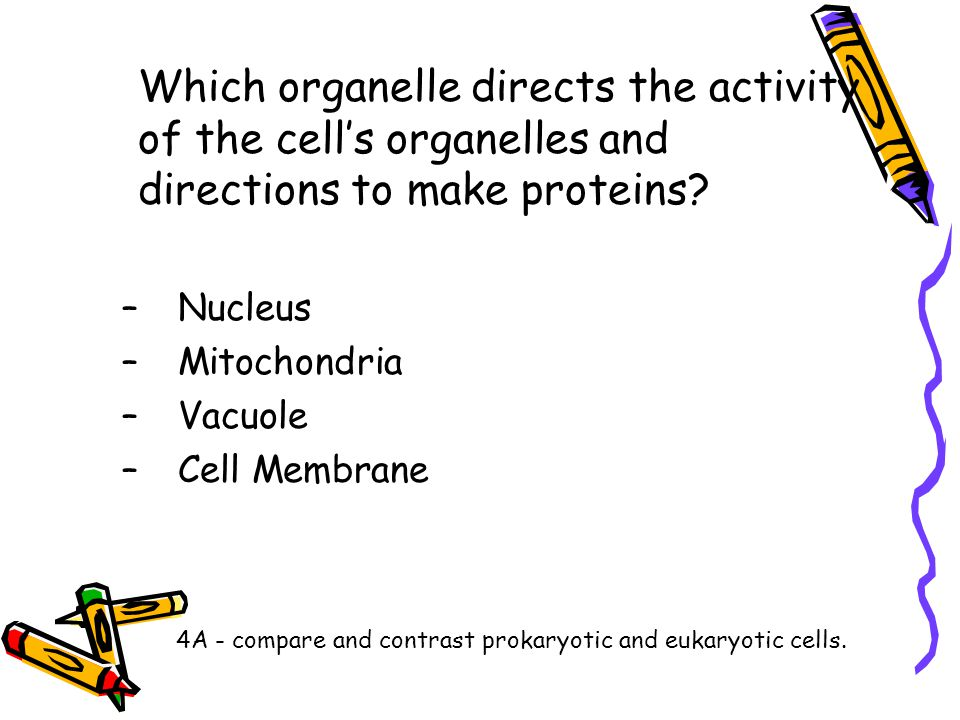 Which organelle directs the activity of the cell's organelles and directions to make proteins? –Nucleus –Mitochondria –Vacuole –Cell Membrane 4A - com