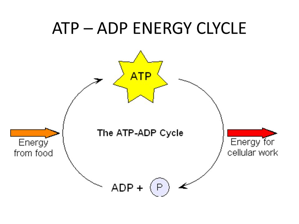 ATP – ADP ENERGY CLYCLE