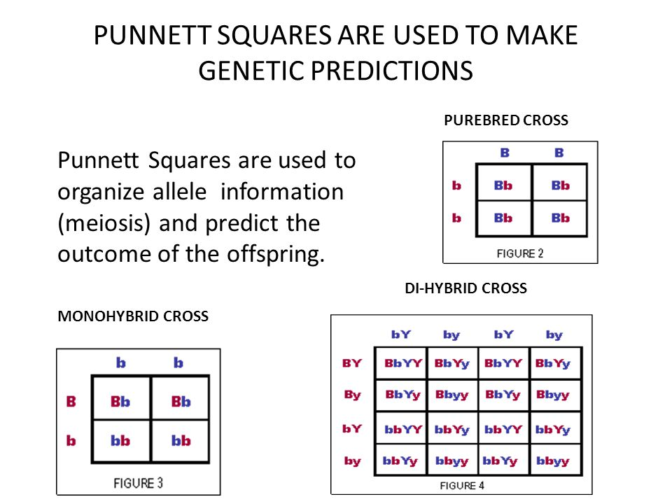 PUNNETT SQUARES ARE USED TO MAKE GENETIC PREDICTIONS Punnett Squares are used to organize allele information (meiosis) and predict the outcome of the
