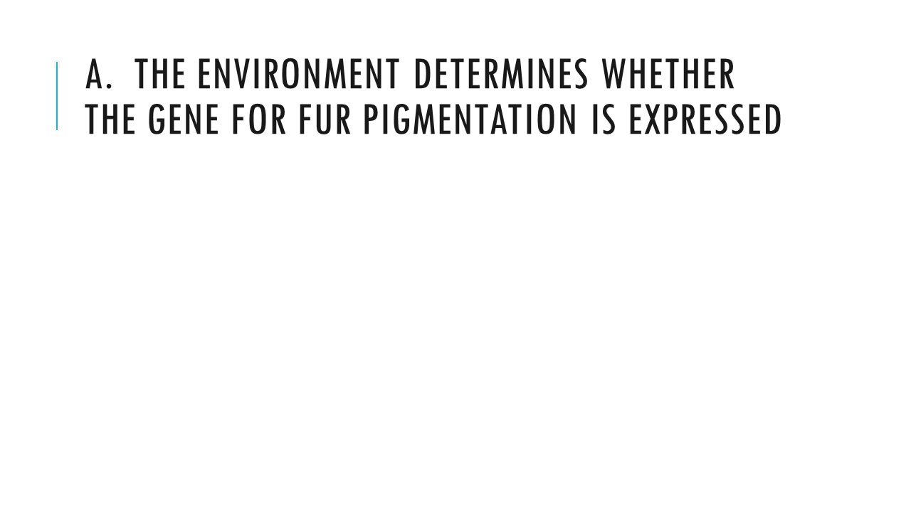 A. THE ENVIRONMENT DETERMINES WHETHER THE GENE FOR FUR PIGMENTATION IS EXPRESSED