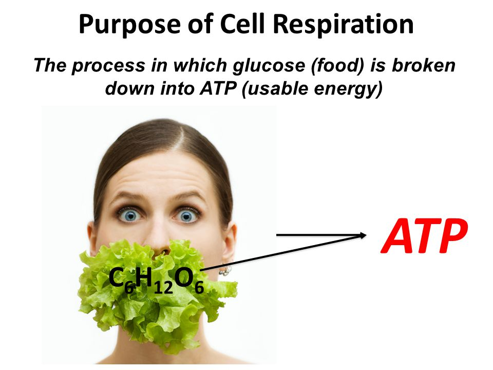 Purpose of Cell Respiration C 6 H 12 O 6 ATP The process in which glucose (food) is broken down into ATP (usable energy) C 6 H 12 O 6