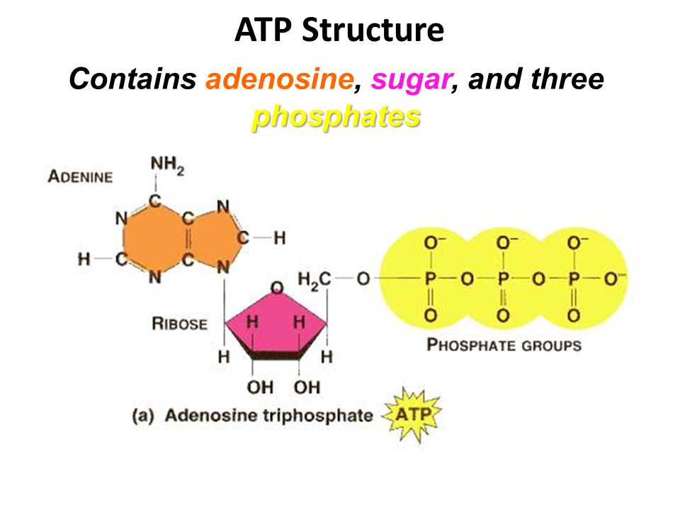 ATP Structure phosphates Contains adenosine, sugar, and three phosphates