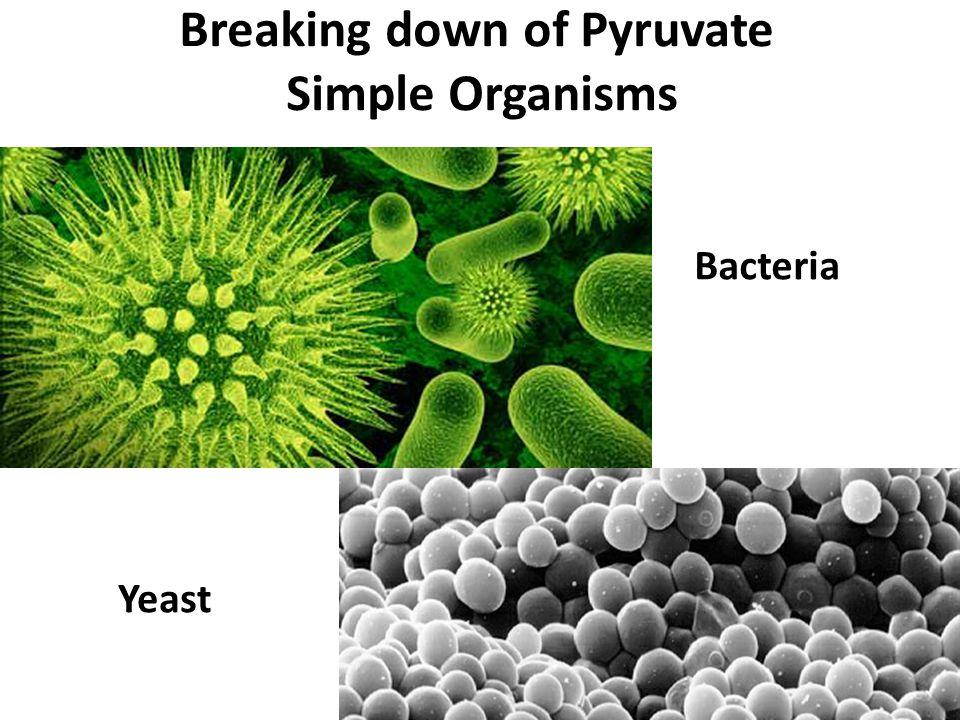 Breaking down of Pyruvate Simple Organisms Bacteria Yeast