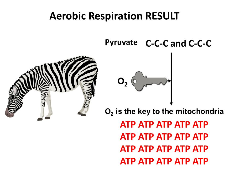 Aerobic Respiration RESULT C-C-C and C-C-C Pyruvate ATP ATP ATP ATP ATP ATP ATP ATP ATP ATP O2O2 O 2 is the key to the mitochondria