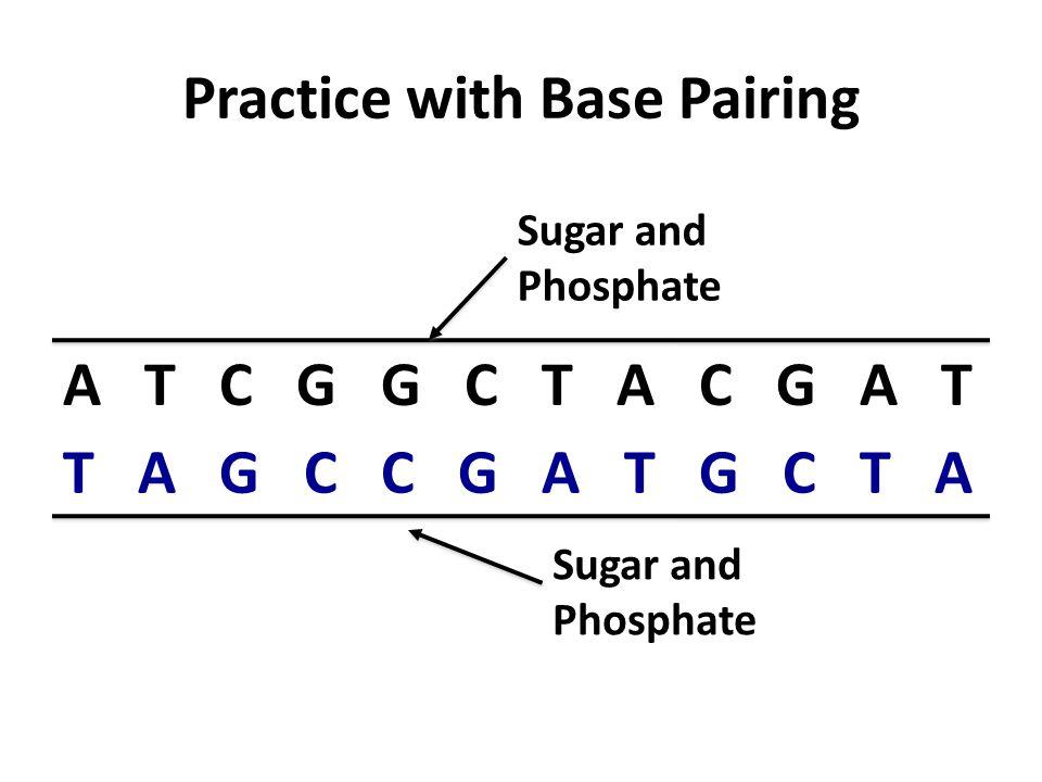 Practice with Base Pairing A T C G G C T A C G A T T A G C C G A T G C T A Sugar and Phosphate