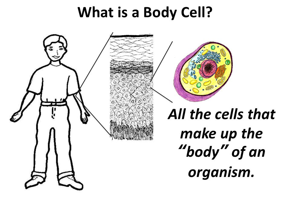 What is a Body Cell All the cells that make up the body of an organism.