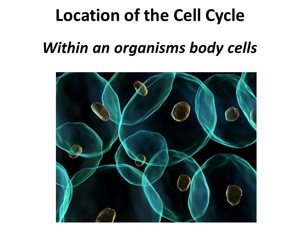 Location of the Cell Cycle Within an organisms body cells