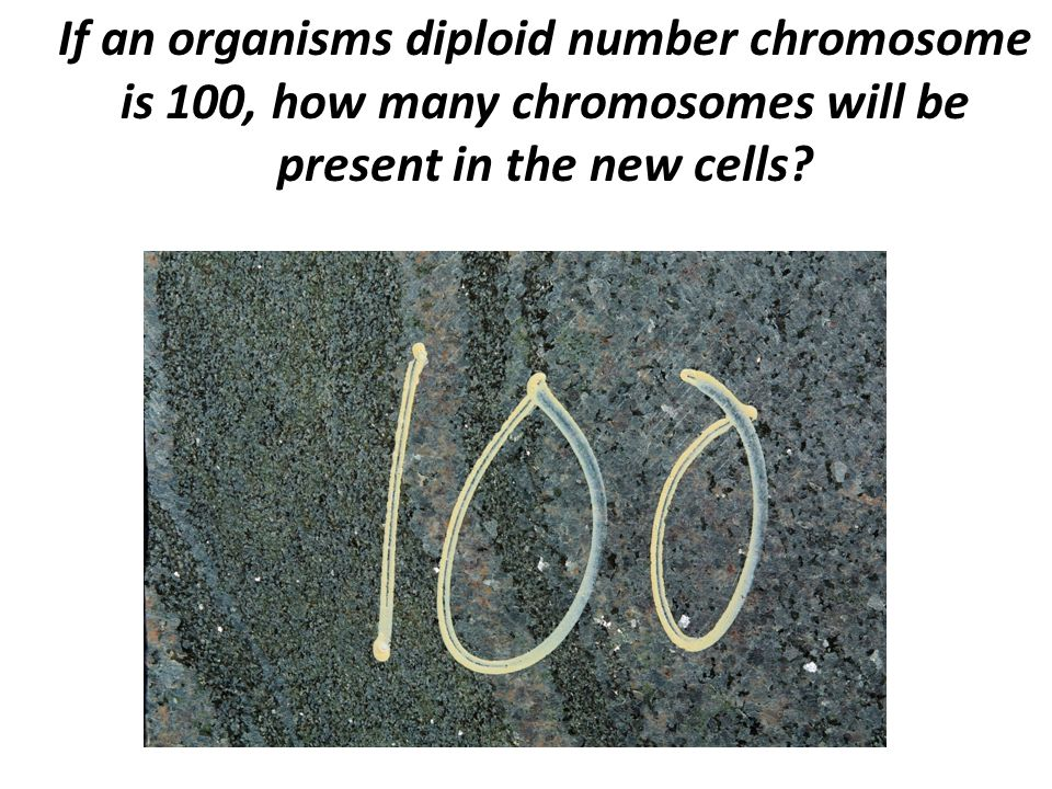 If an organisms diploid number chromosome is 100, how many chromosomes will be present in the new cells