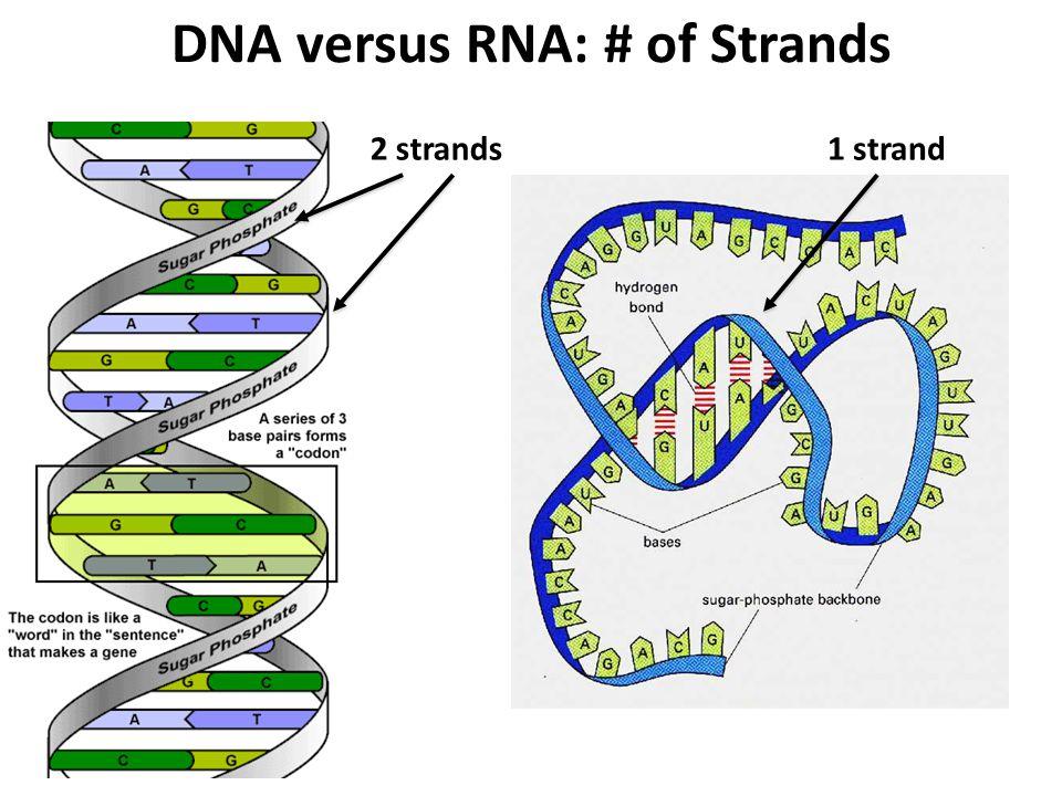 DNA versus RNA: # of Strands 1 strand2 strands