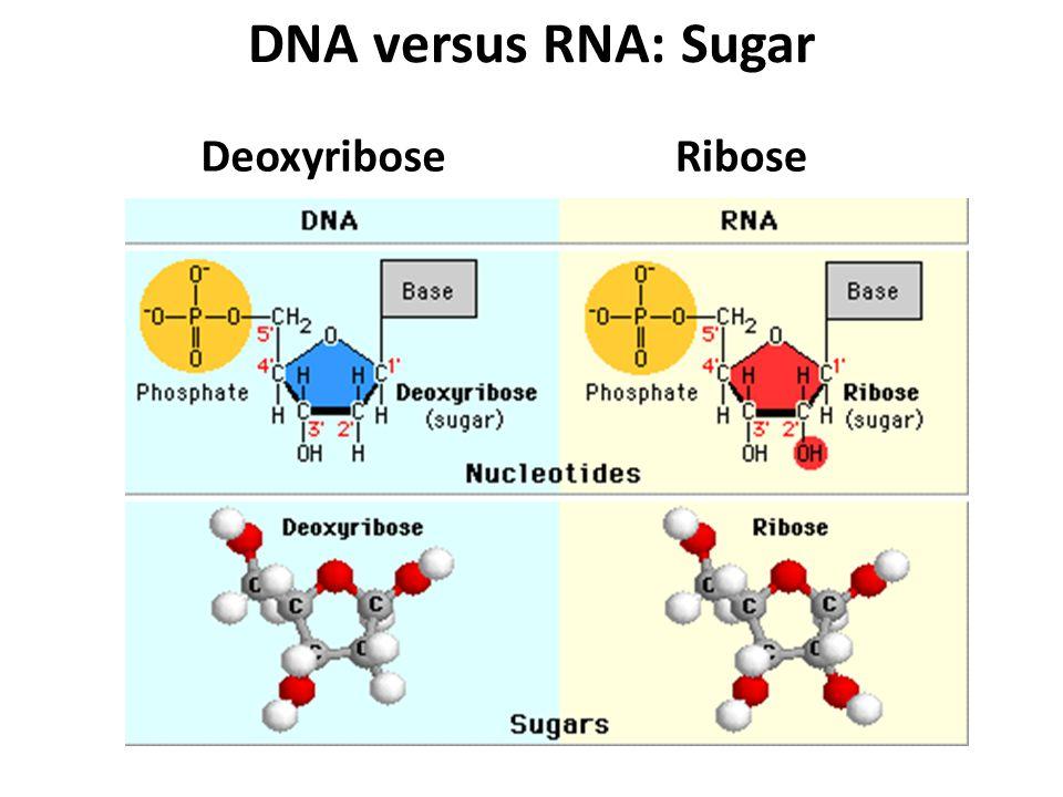 DNA versus RNA: Sugar DeoxyriboseRibose