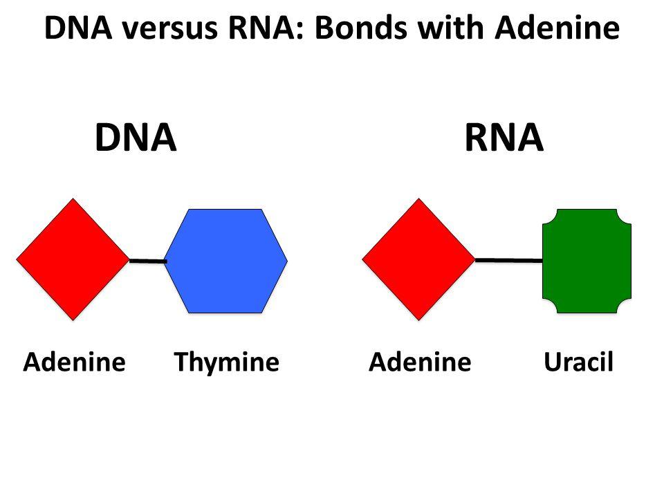 DNA versus RNA: Bonds with Adenine AdenineThymineAdenineUracil DNARNA