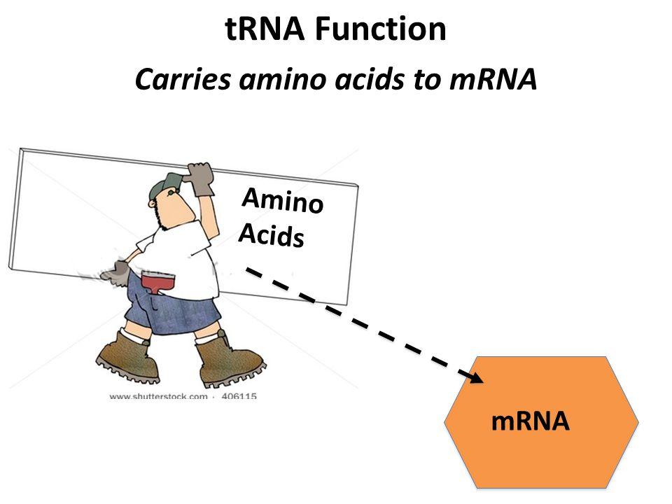 tRNA Function Carries amino acids to mRNA mRNA Amino Acids